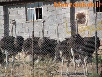 پرورش شترمرغ در مرغداری غلامعلی دشت-جیرنده